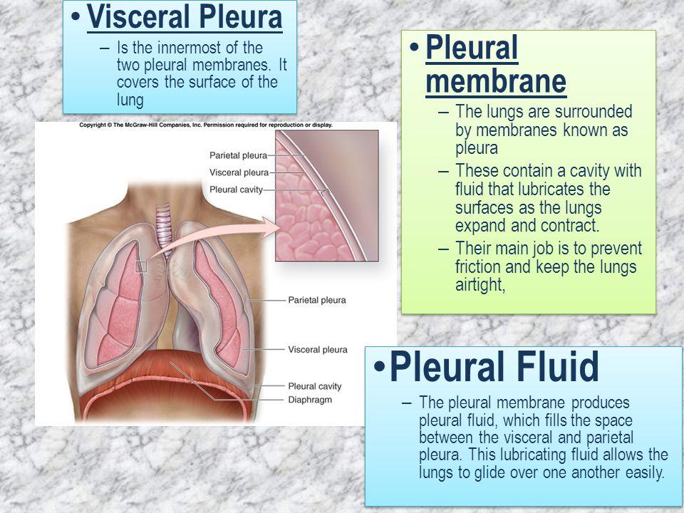 Pleural Fluid Pleural membrane Visceral Pleura