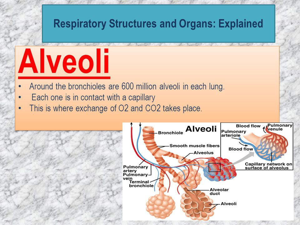 Respiratory Structures and Organs: Explained