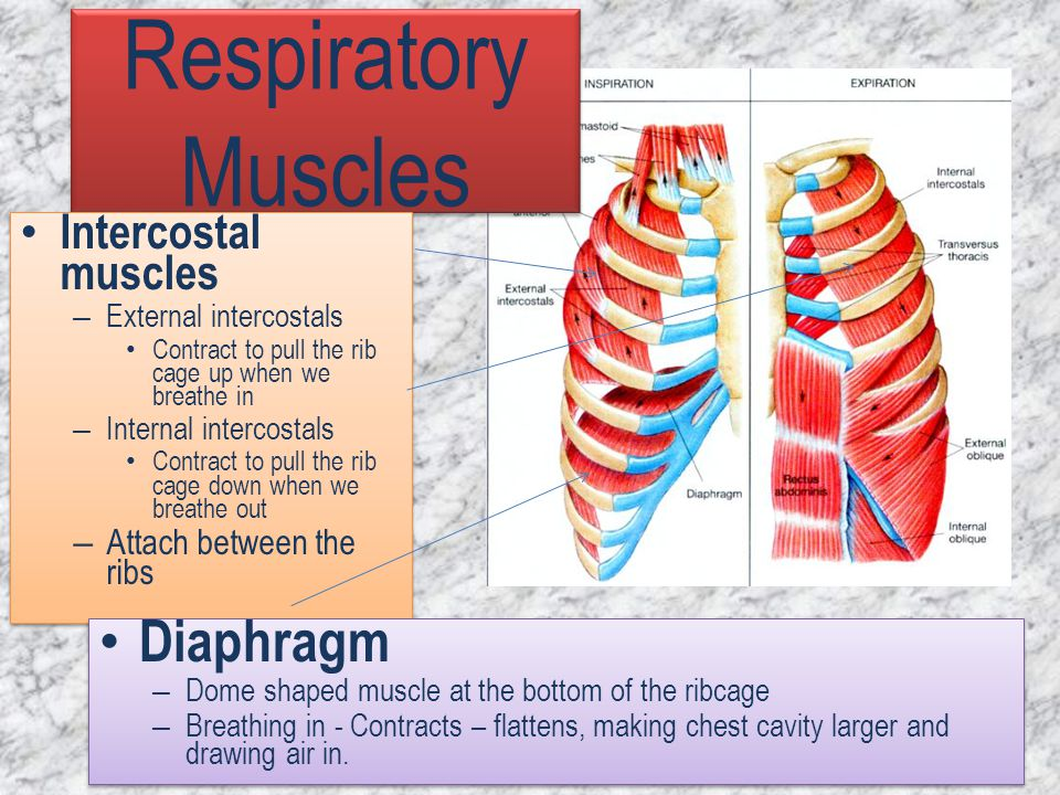 Respiratory Muscles Diaphragm Intercostal muscles