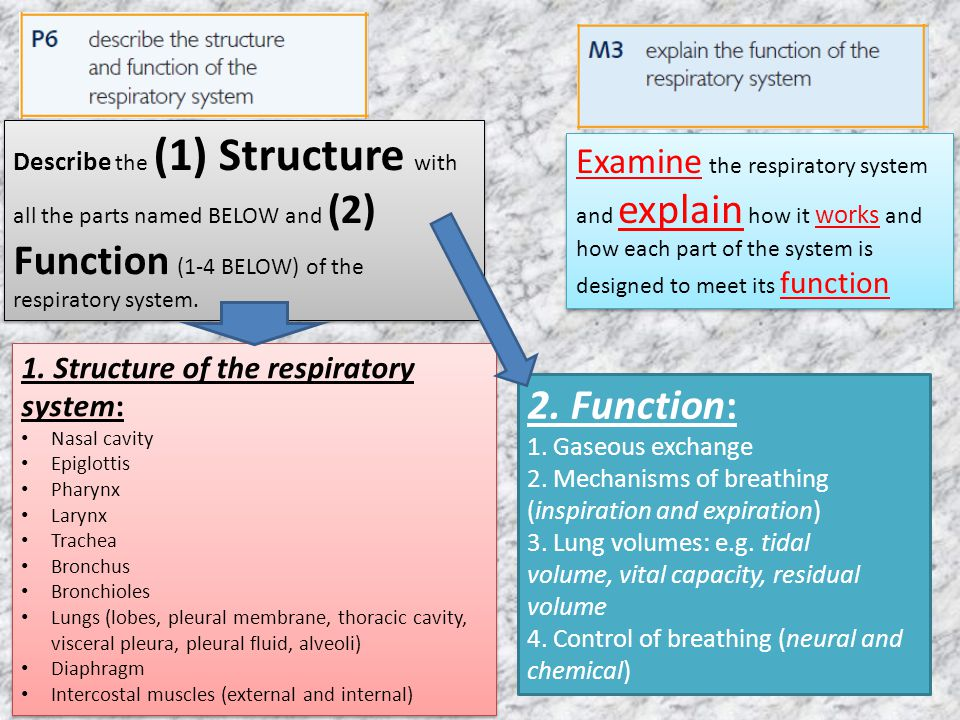 2. Function: Examine the respiratory system