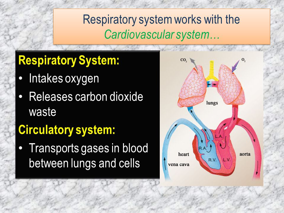 Respiratory system works with the Cardiovascular system…