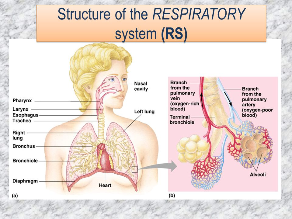 Structure of the RESPIRATORY system (RS)