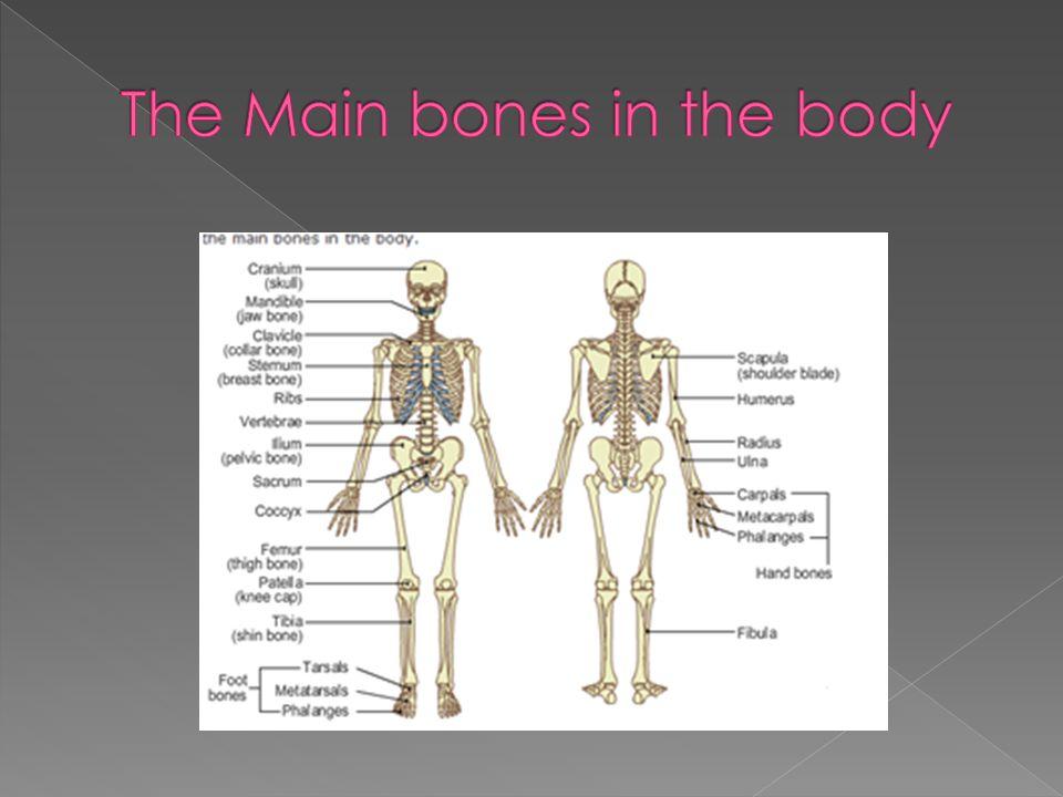The Main bones in the body