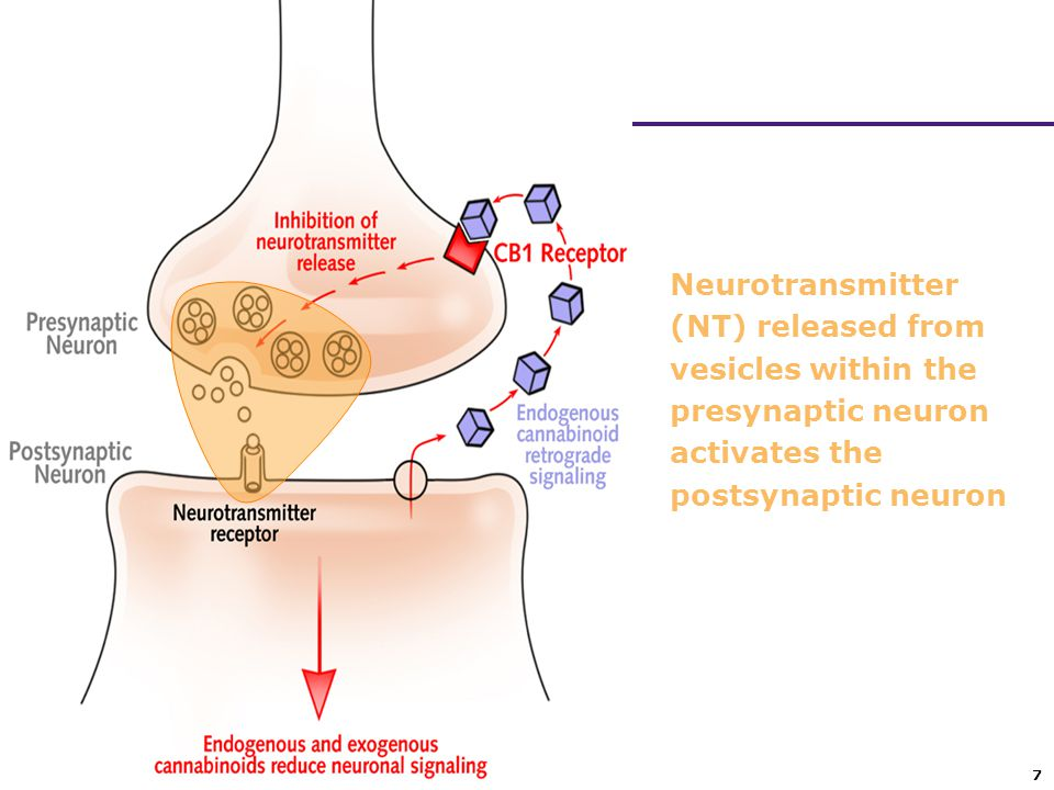Neurotransmitter (NT) released from vesicles within the presynaptic neuron activates the postsynaptic neuron