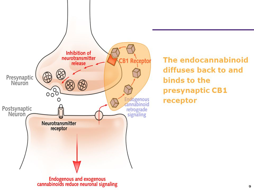 The endocannabinoid diffuses back to and binds to the presynaptic CB1 receptor