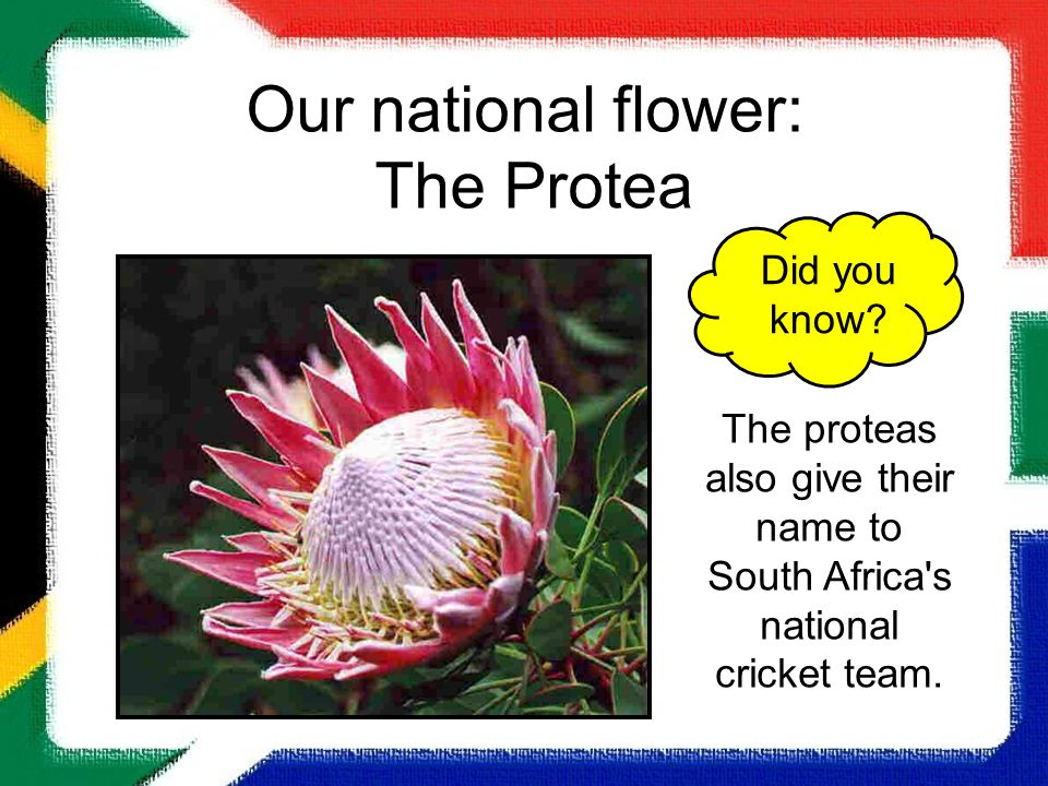 Our national flower: The Protea