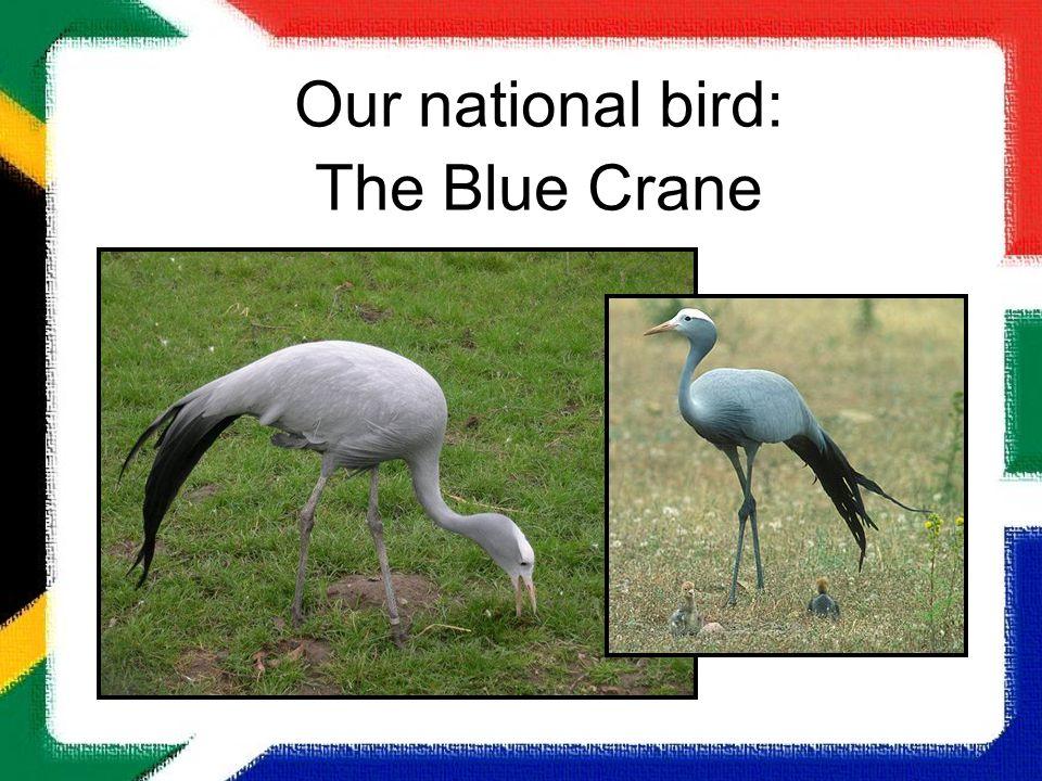 Our national bird: The Blue Crane