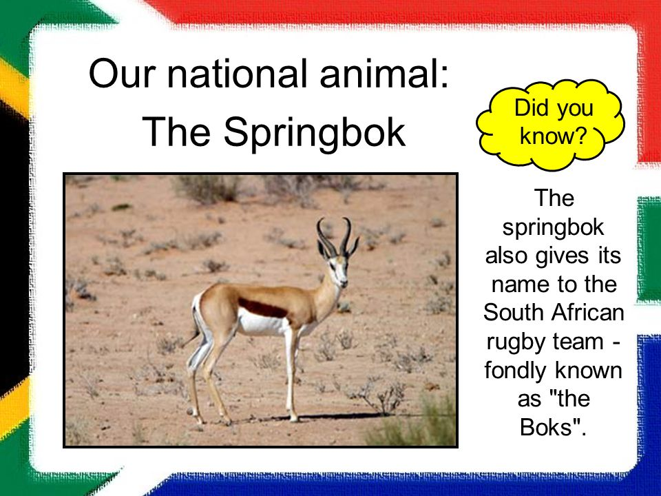 Our national animal: The Springbok Did you know