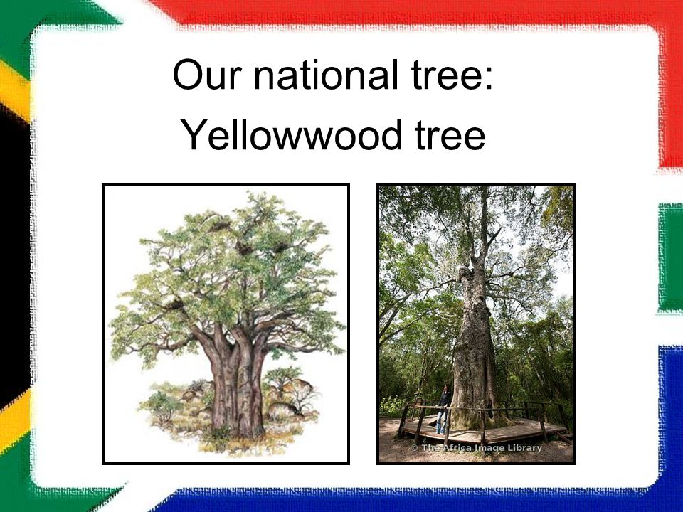 Our national tree: Yellowwood tree