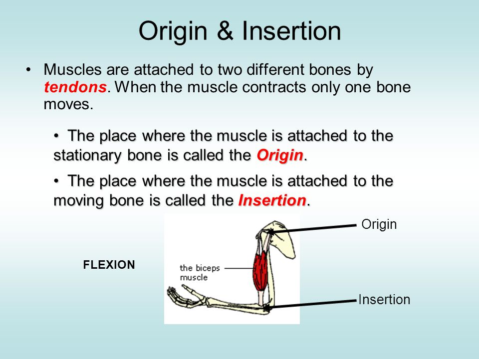 Origin & Insertion Muscles are attached to two different bones by tendons. When the muscle contracts only one bone moves.