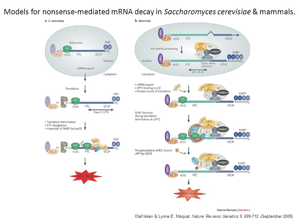 Models for nonsense-mediated mRNA decay in Saccharomyces cerevisiae & mammals.