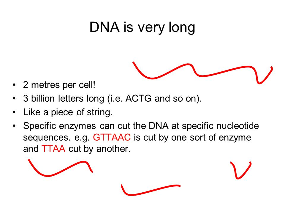 DNA is very long 2 metres per cell!