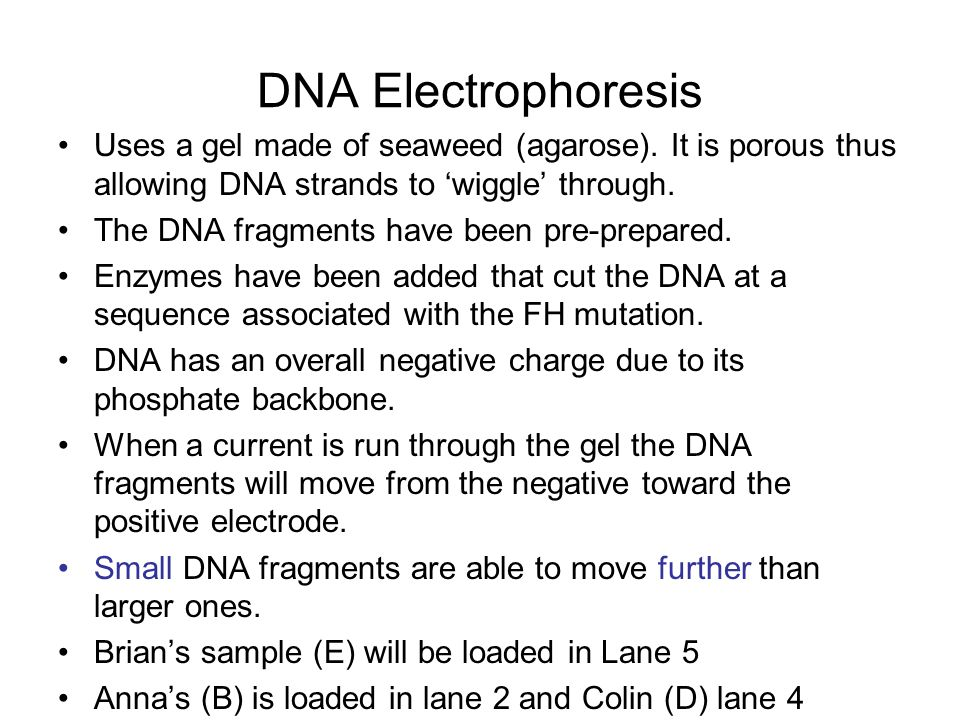 DNA Electrophoresis Uses a gel made of seaweed (agarose). It is porous thus allowing DNA strands to 'wiggle' through.