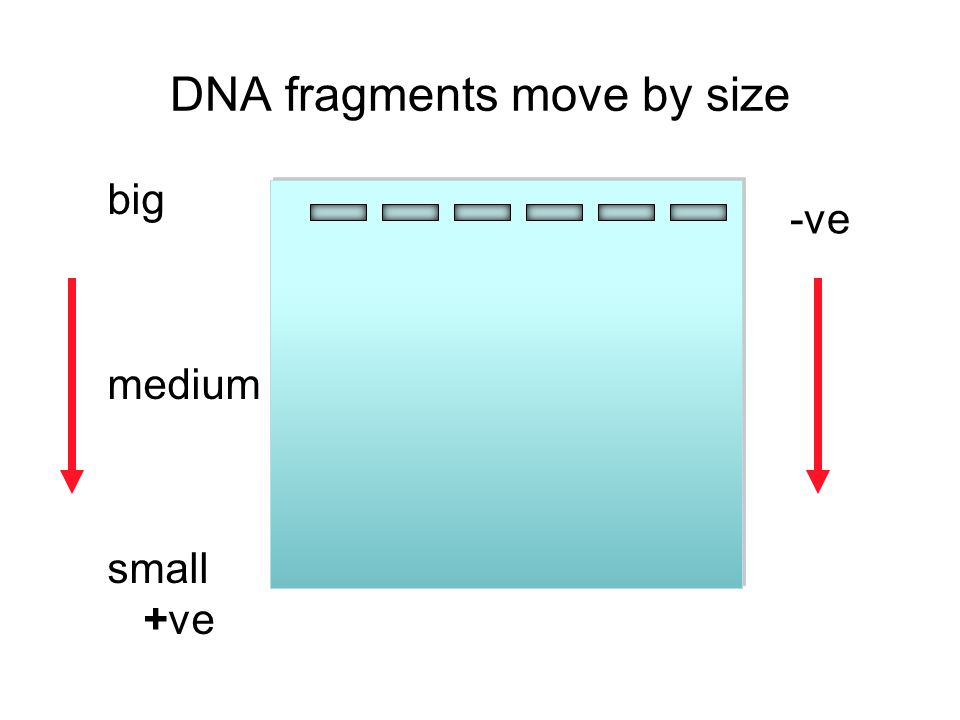 DNA fragments move by size
