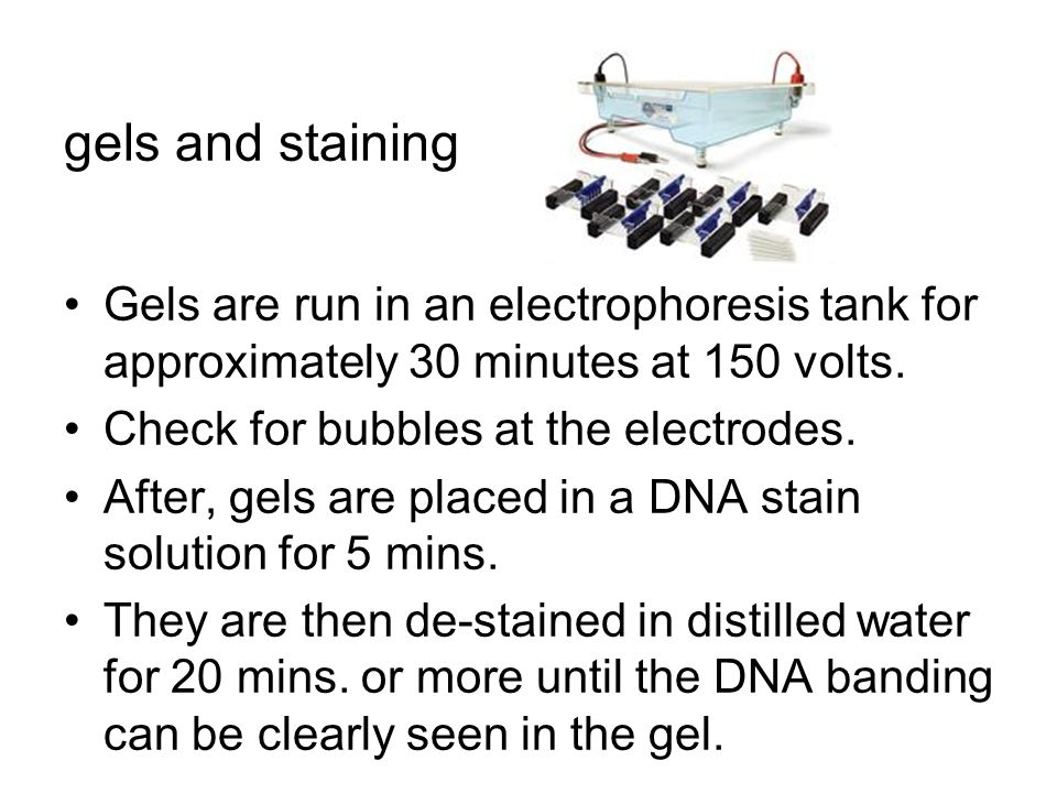 gels and staining Gels are run in an electrophoresis tank for approximately 30 minutes at 150 volts.