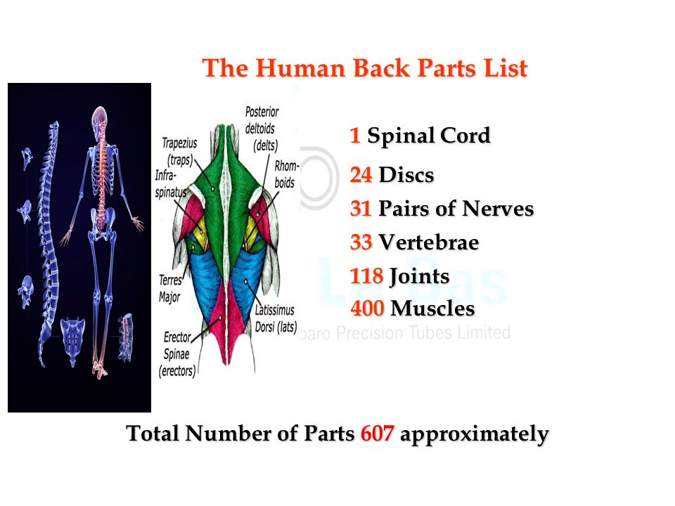 The Human Back Parts List Total Number of Parts 607 approximately