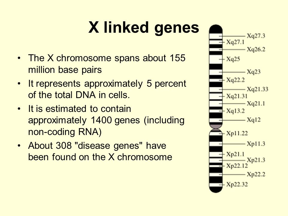X linked genes The X chromosome spans about 155 million base pairs