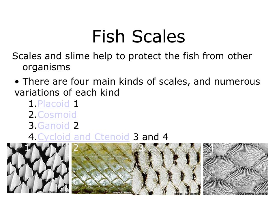 Fish Scales Scales and slime help to protect the fish from other organisms.
