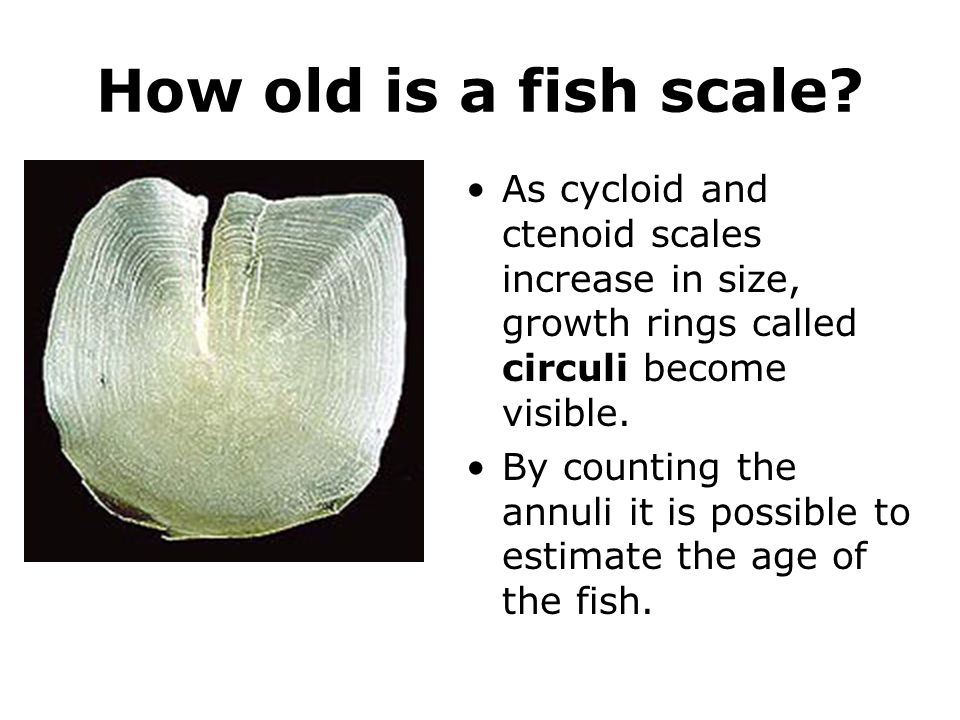 How old is a fish scale As cycloid and ctenoid scales increase in size, growth rings called circuli become visible.