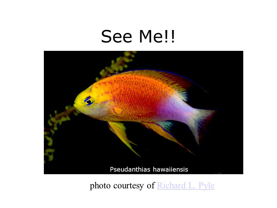 See Me!! photo courtesy of Richard L. Pyle Pseudanthias hawaiiensis