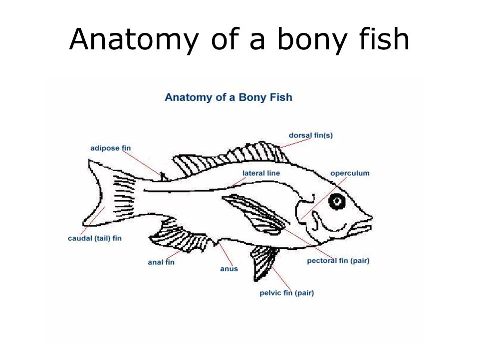 Anatomy of a bony fish