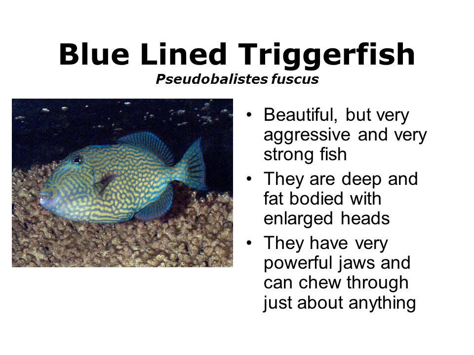 Blue Lined Triggerfish Pseudobalistes fuscus