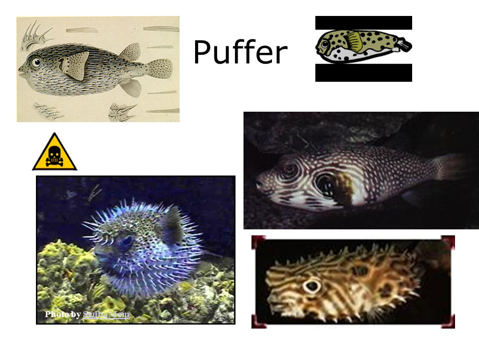 Puffer Photo by ScubaMom