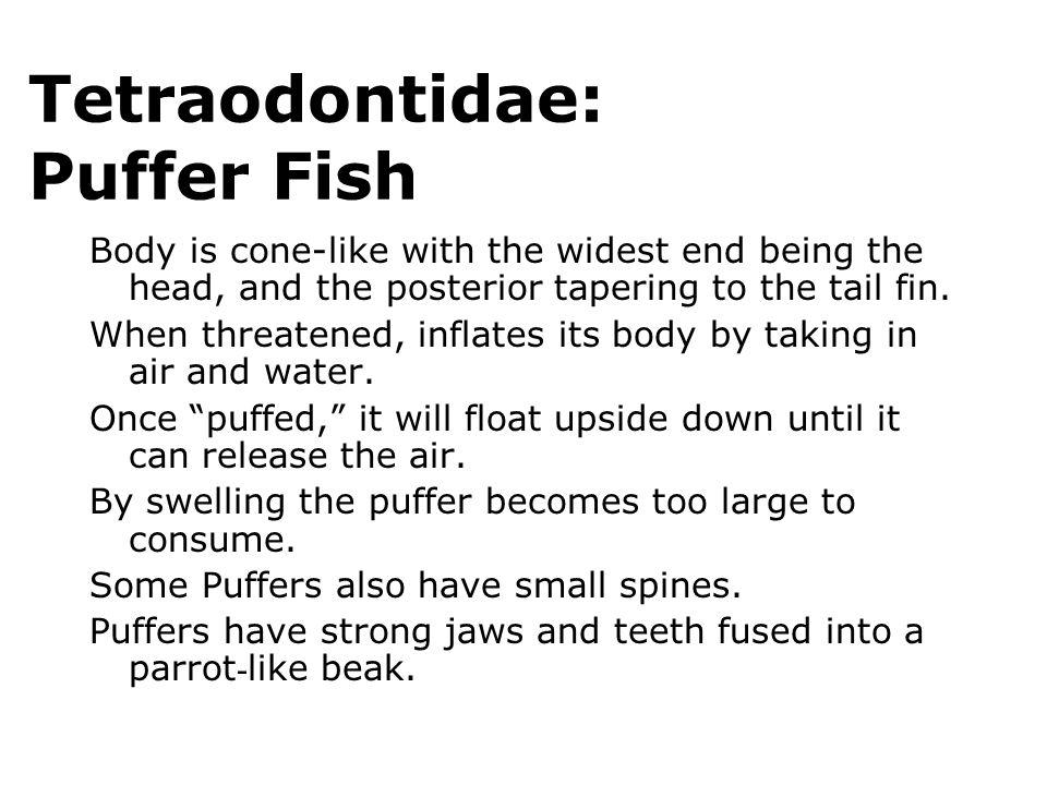 Tetraodontidae: Puffer Fish