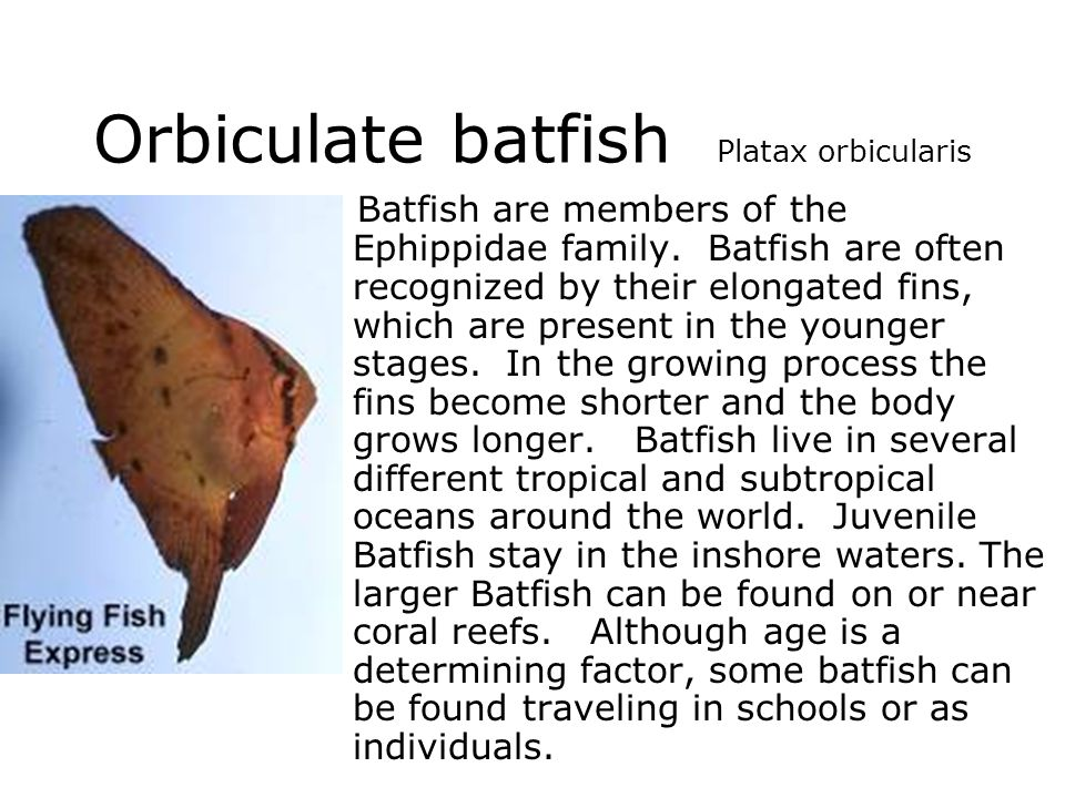 Orbiculate batfish Platax orbicularis