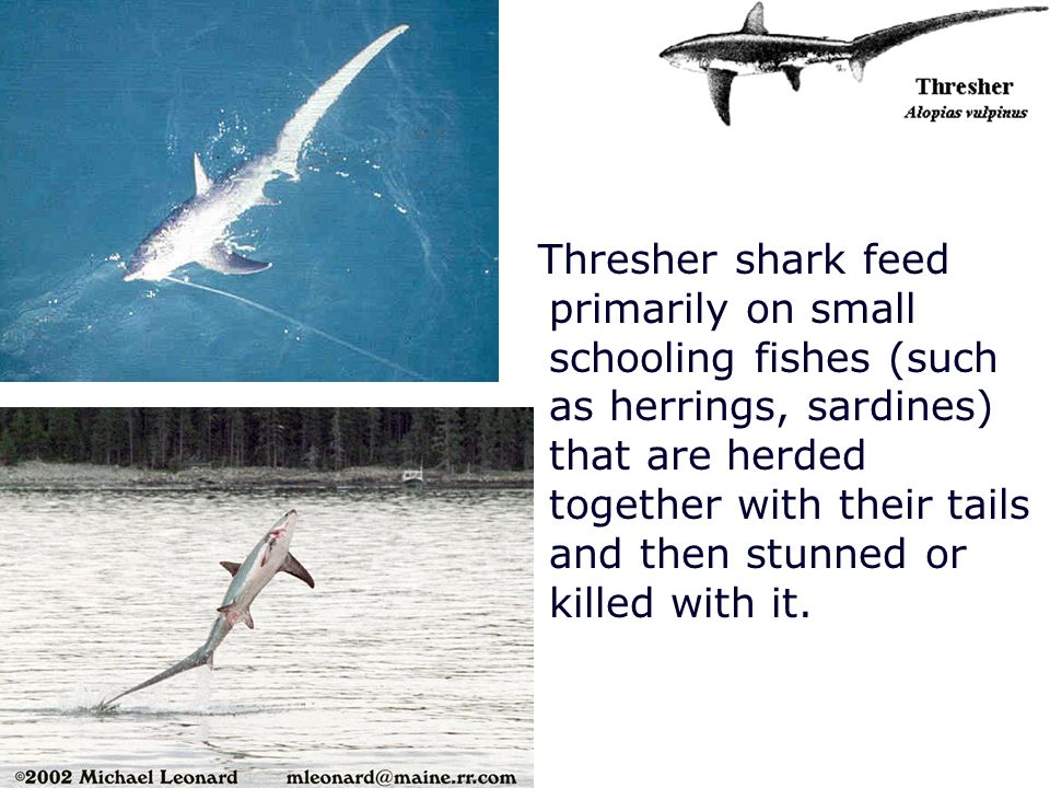 Thresher shark feed primarily on small schooling fishes (such as herrings, sardines) that are herded together with their tails and then stunned or killed with it.