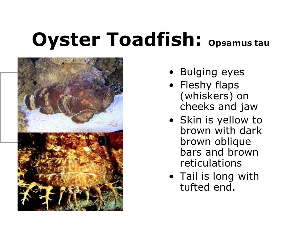 Oyster Toadfish: Opsamus tau