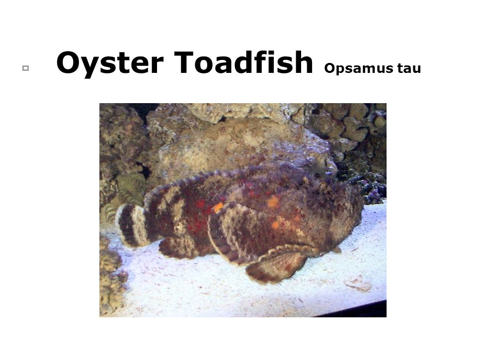 Oyster Toadfish Opsamus tau