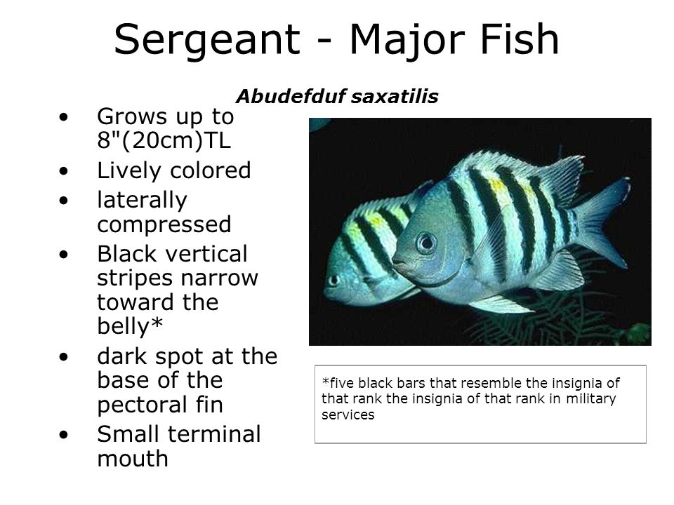 Sergeant - Major Fish Abudefduf saxatilis