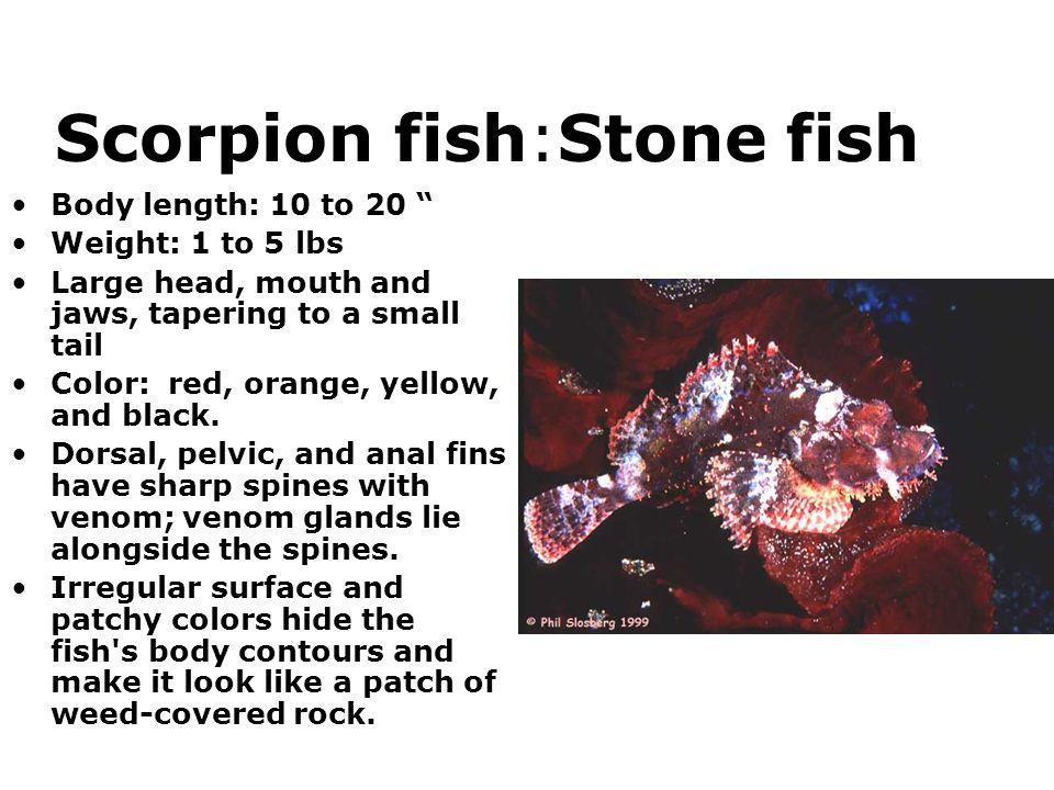 Scorpion fish:Stone fish