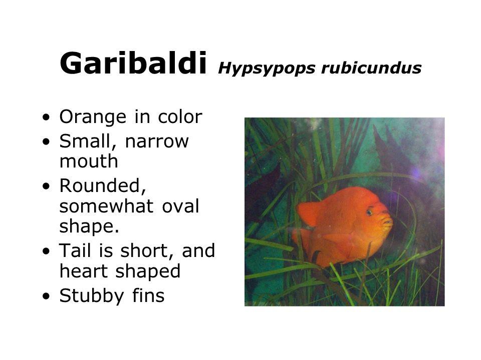 Garibaldi Hypsypops rubicundus