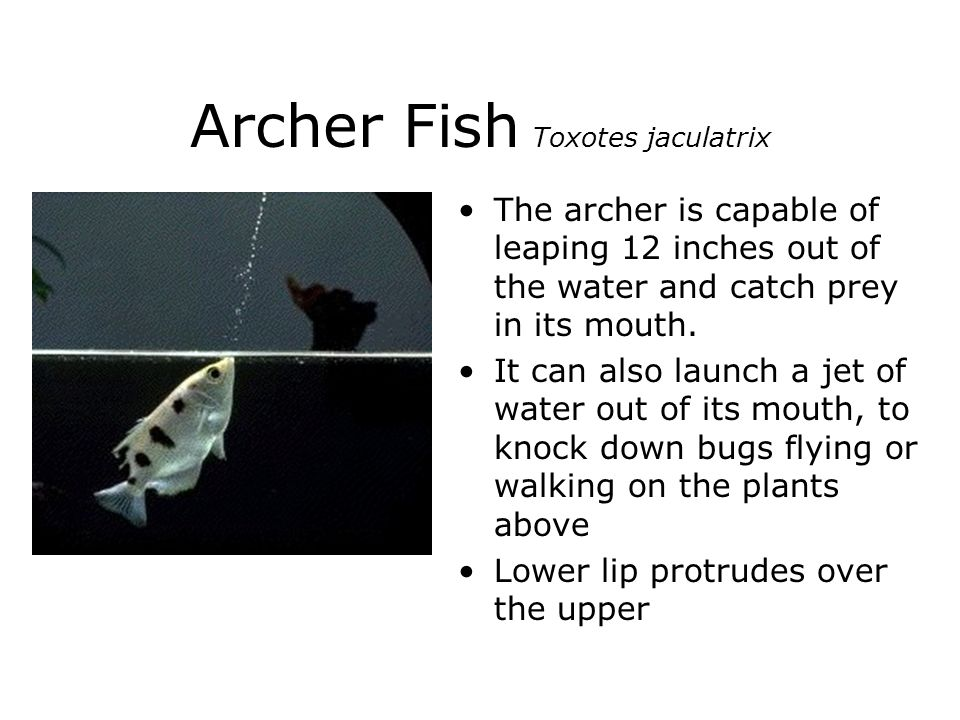 Archer Fish Toxotes jaculatrix