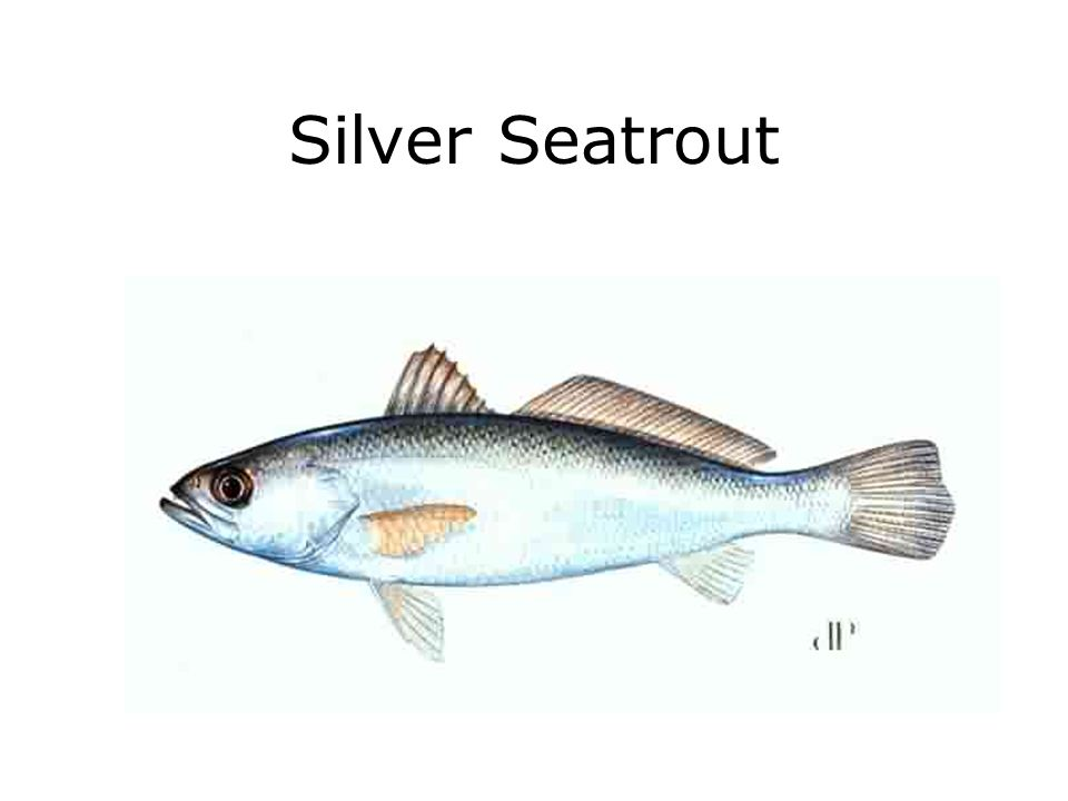 Silver Seatrout
