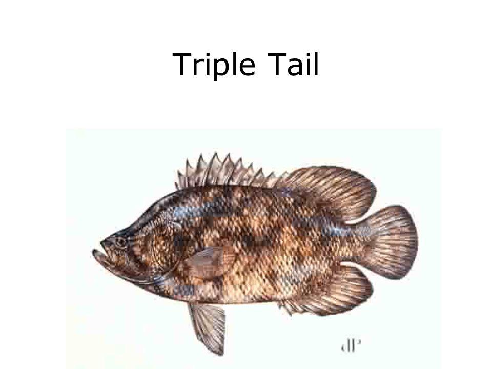 Triple Tail