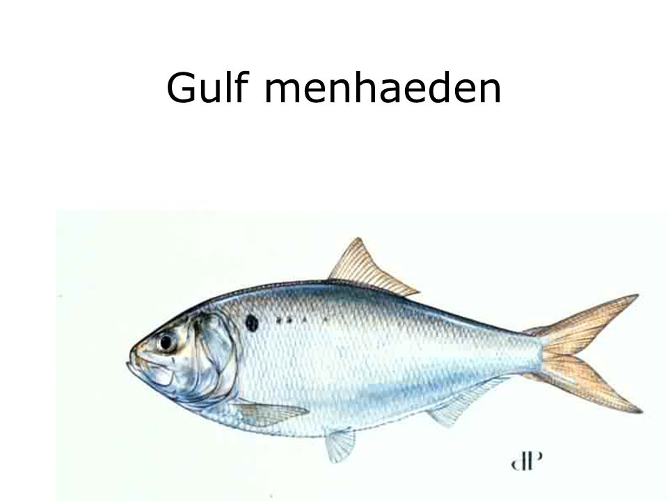 Gulf menhaeden