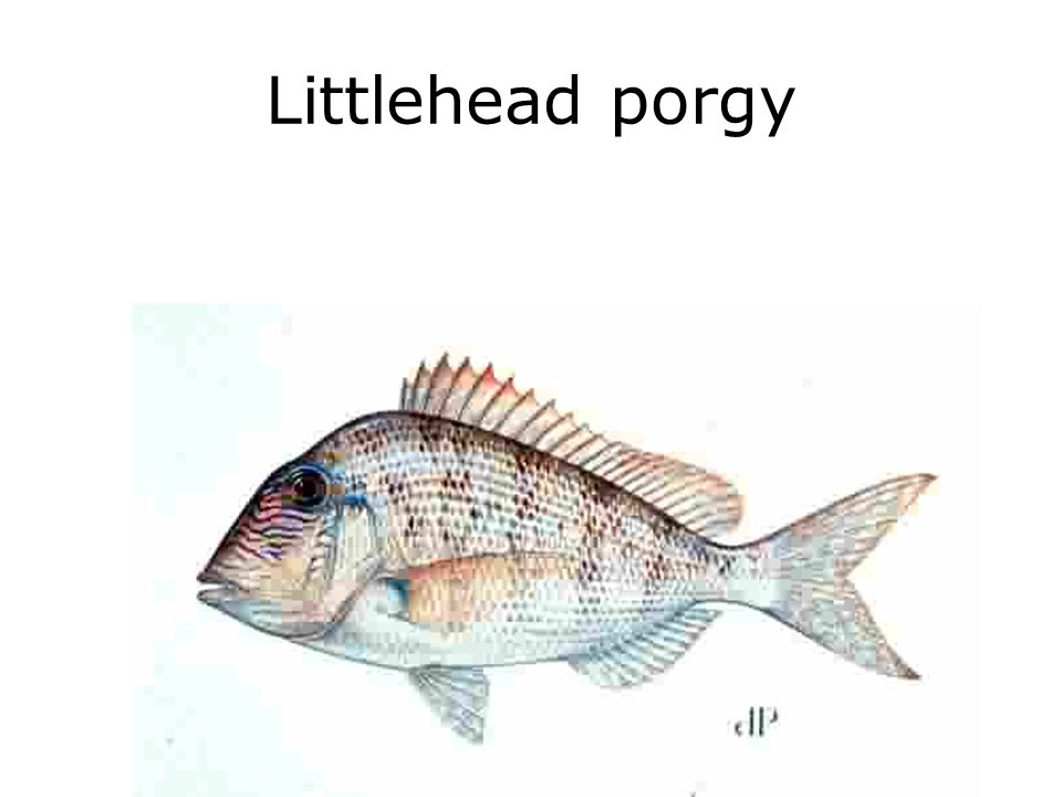 Littlehead porgy