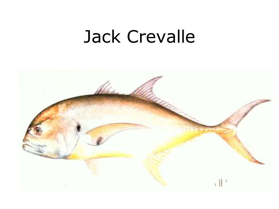 Jack Crevalle