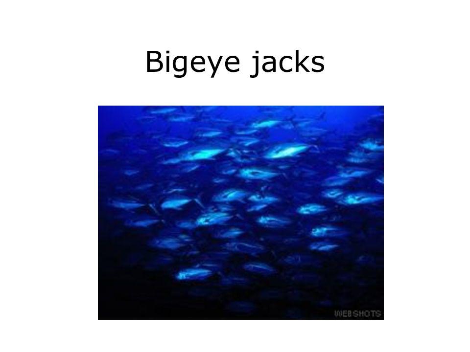 Bigeye jacks
