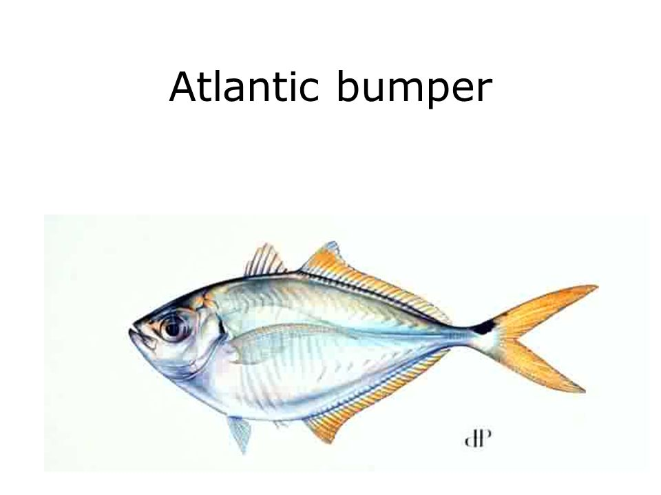 Atlantic bumper