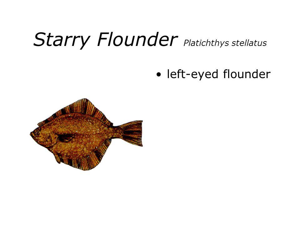 Starry Flounder Platichthys stellatus