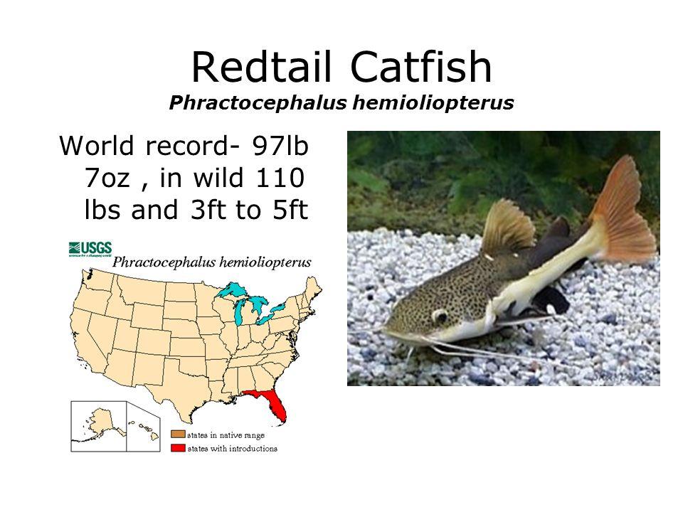 Redtail Catfish Phractocephalus hemioliopterus