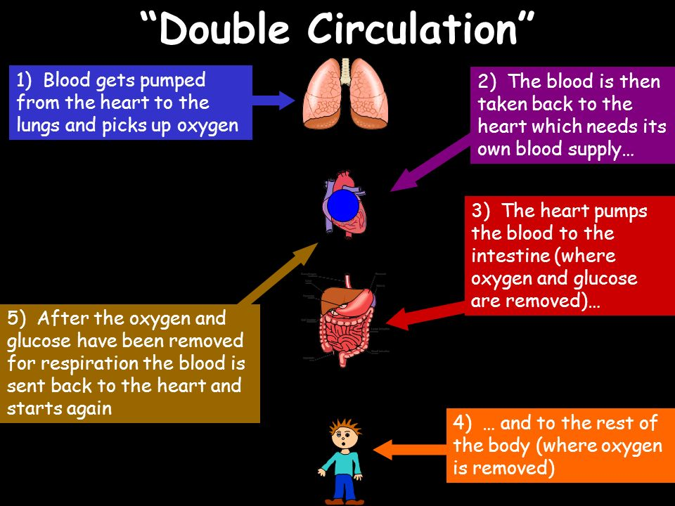 Double Circulation 1) Blood gets pumped from the heart to the lungs and picks up oxygen.