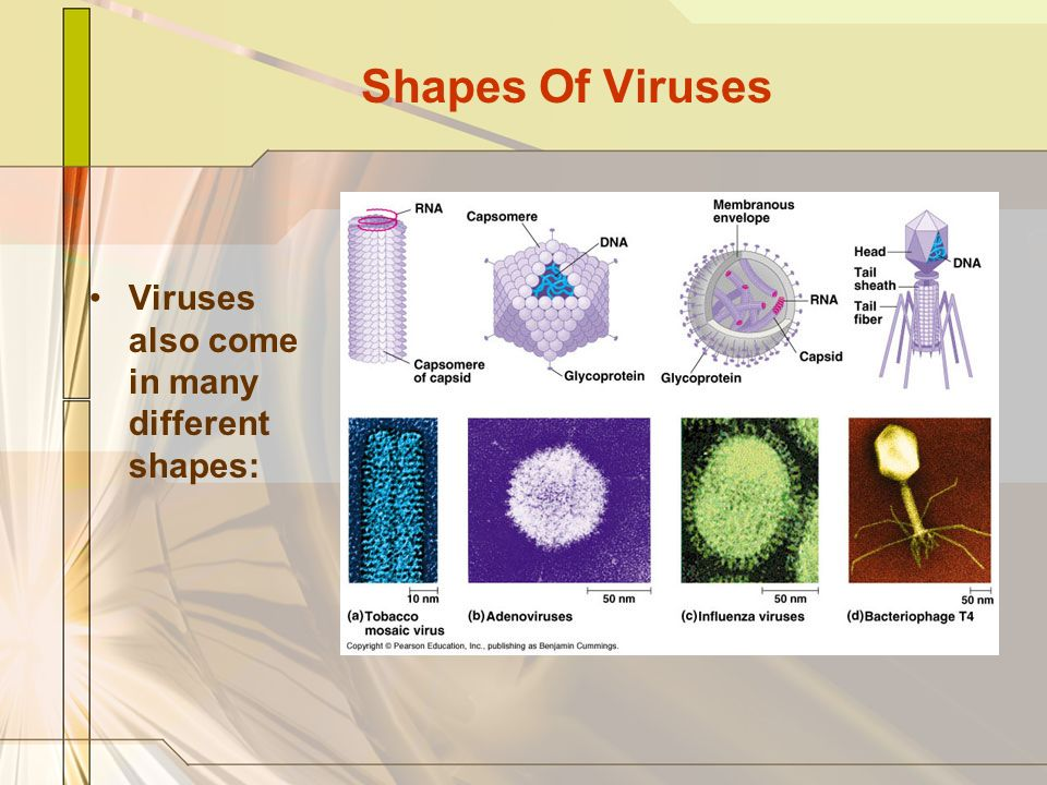 Shapes Of Viruses Viruses also come in many different shapes: