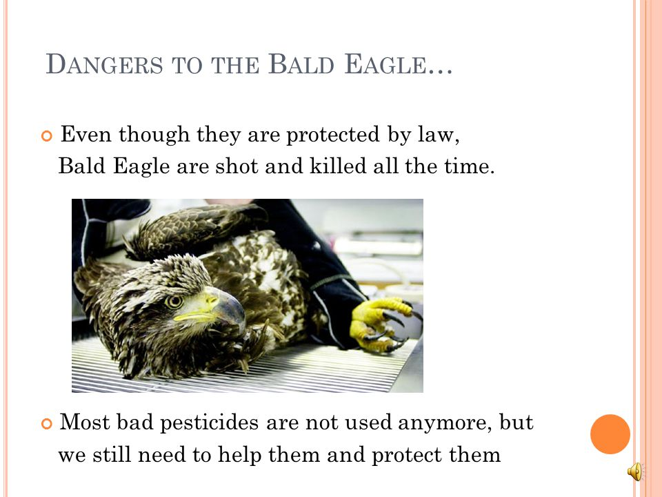 Dangers to the Bald Eagle…