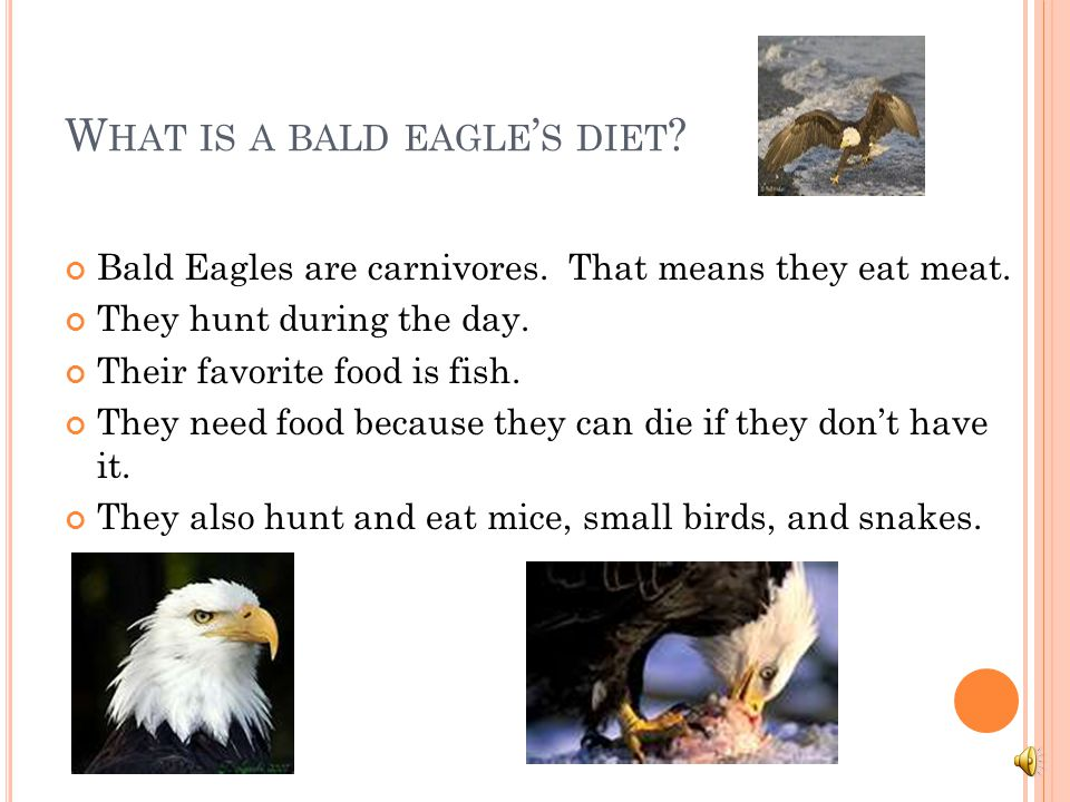 What is a bald eagle's diet