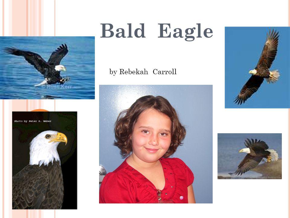 Bald Eagle by Rebekah Carroll